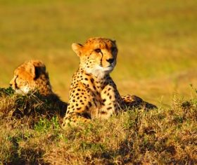 Fast and brave cheetah Stock Photo 01