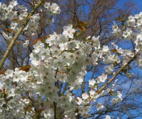 Fragrant white plum blossom Stock Photo 01