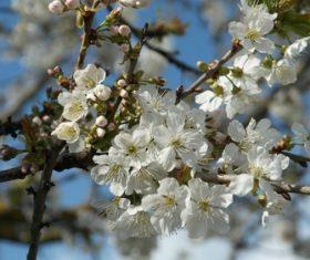 Fragrant white plum blossom Stock Photo 02