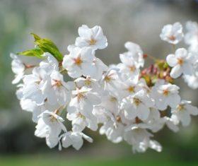 Fragrant white plum blossom Stock Photo 03