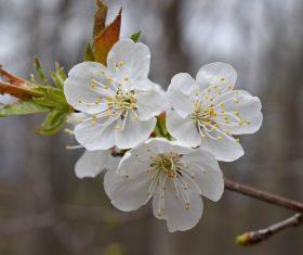 Fragrant white plum blossom Stock Photo 04