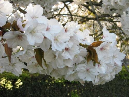 Fragrant white plum blossom Stock Photo 05