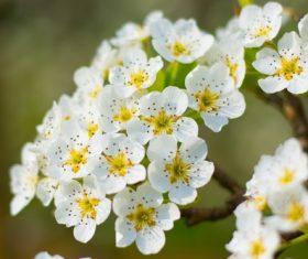 Fragrant white plum blossom Stock Photo 06