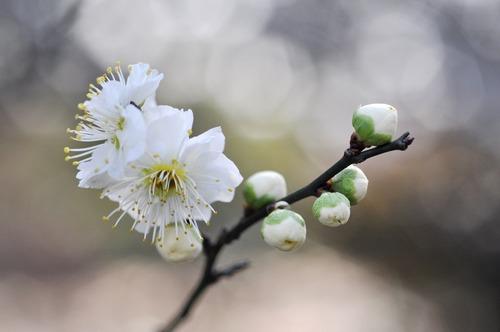 Fragrant white plum blossom Stock Photo 07