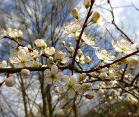 Fragrant white plum blossom Stock Photo 08
