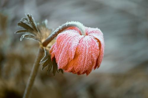 Frozen rose flower Stock Photo