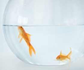 Goldfish in a fish tank Stock Photo 01