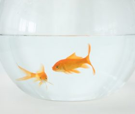 Goldfish in a fish tank Stock Photo 02