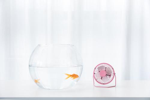 Goldfish in a fish tank Stock Photo 03