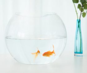 Goldfish in a fish tank Stock Photo 06