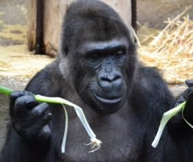 Gorilla in the park Stock Photo 05