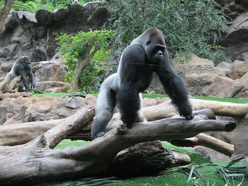Gorilla in the park Stock Photo 06