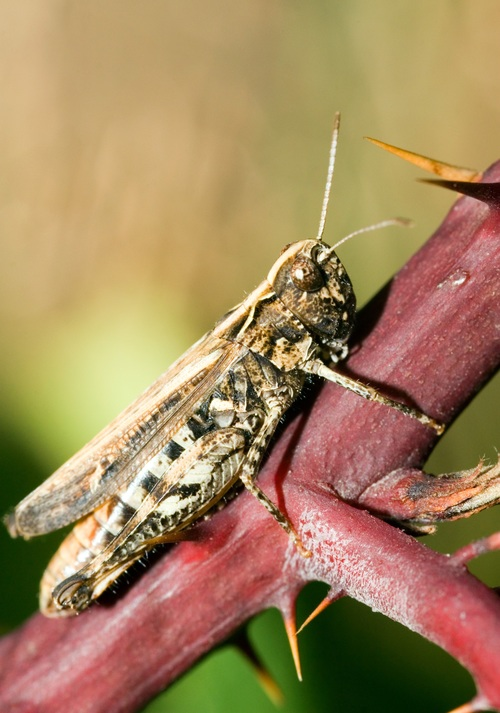 Grasshopper macro photography Stock Photo 03