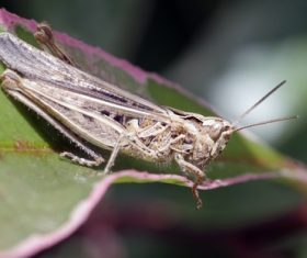Grasshopper macro photography Stock Photo 04