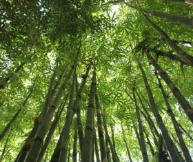 Green bamboo forest Stock Photo 03