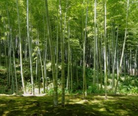 Green bamboo forest Stock Photo 04