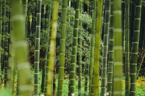 Green bamboo forest Stock Photo 05
