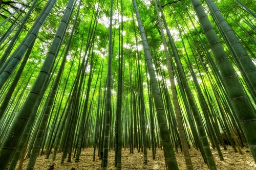 Green bamboo forest Stock Photo 06