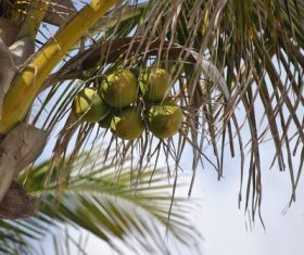 Green coconut on the tree Stock Photo 01