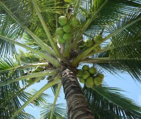 Green coconut on the tree Stock Photo 02