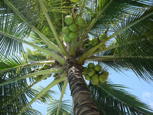 Green coconut on the tree Stock Photo 02
