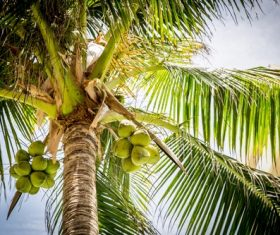 Green coconut on the tree Stock Photo 03