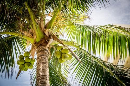 Green coconut on the tree Stock Photo 03