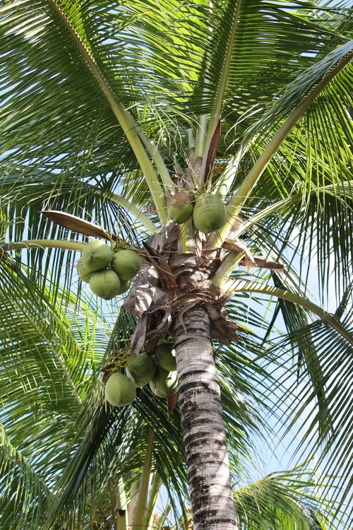 Green coconut on the tree Stock Photo 04