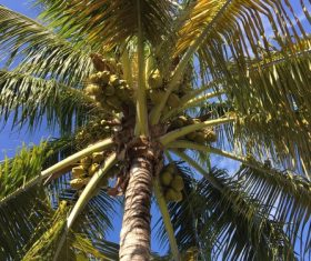 Green coconut on the tree Stock Photo 05