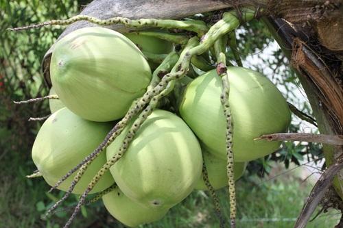 Green coconut on the tree Stock Photo 07