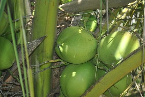 Green coconut on the tree Stock Photo 08