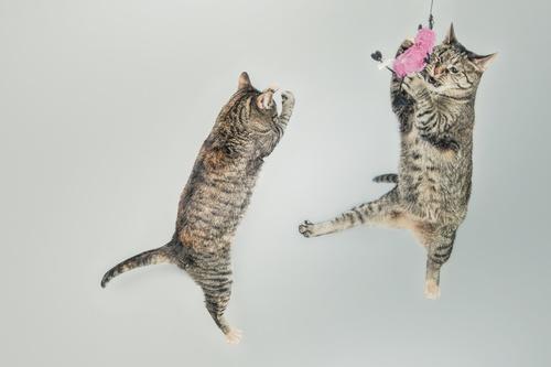 Jumping Cats Stock Photo