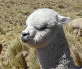 Lovely alpaca Stock Photo 01