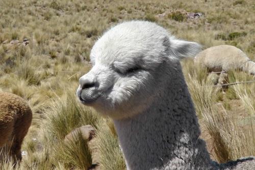 Lovely alpaca Stock Photo 01