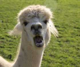 Lovely alpaca Stock Photo 02