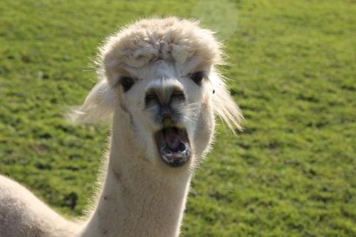 Lovely alpaca Stock Photo 02