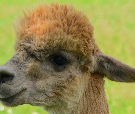 Lovely alpaca Stock Photo 03