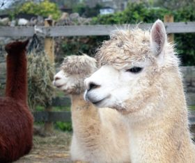 Lovely alpaca Stock Photo 04