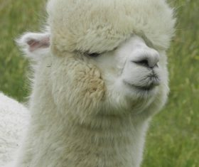Lovely alpaca Stock Photo 05