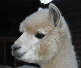 Lovely alpaca Stock Photo 06