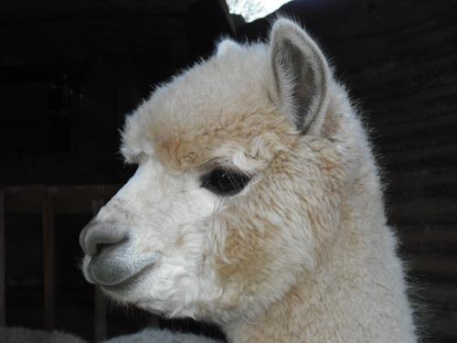Lovely alpaca Stock Photo 06