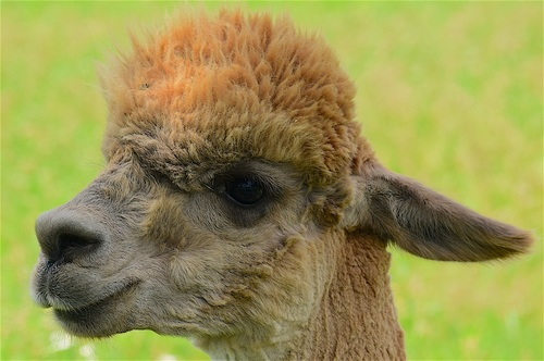 Lovely alpaca Stock Photo 07