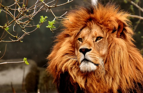 Macro Photography Lions Stock Photo
