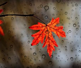 Maple leaf with water droplets Stock Photo