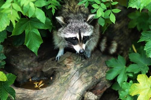 Naughty cute raccoon Stock Photo 01