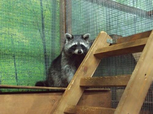 Naughty cute raccoon Stock Photo 03
