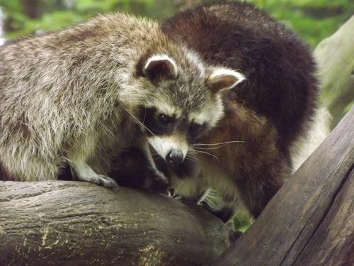Naughty cute raccoon Stock Photo 05