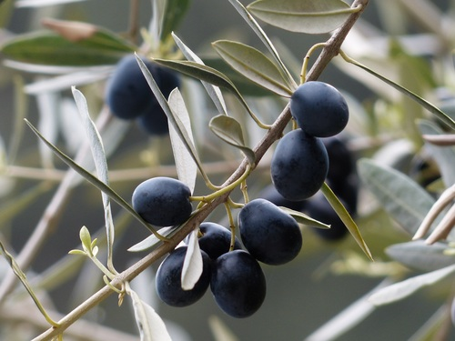 Olives on branch Stock Photo 02