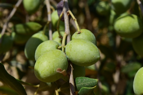 Olives on branch Stock Photo 04