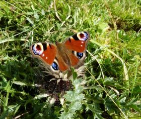 Peacock butterfly in the grass Stock Photo 01